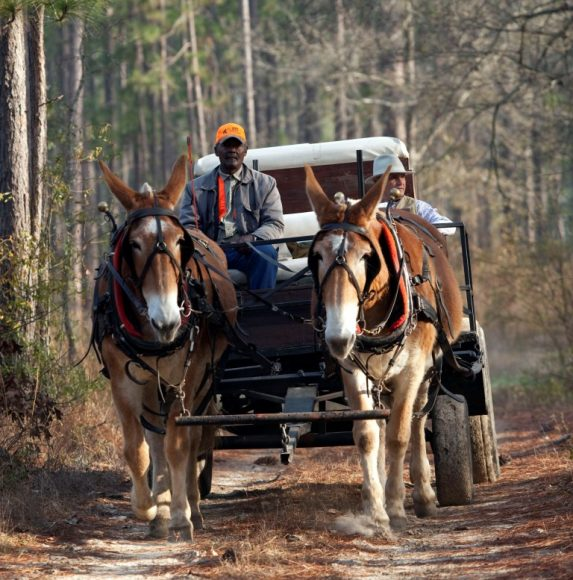 Pine-Hill-mule-drawn-wagon