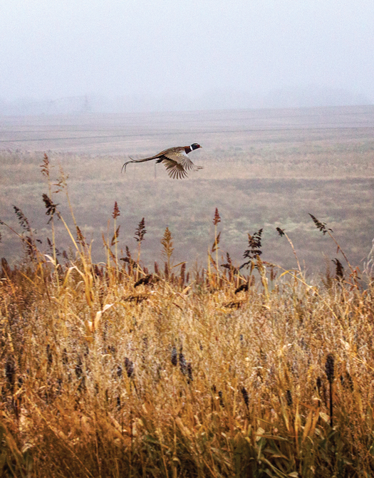 Pheasant flying