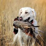 Dog carrying pheasant
