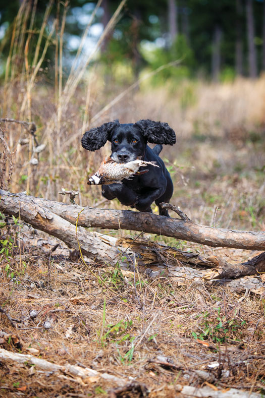 Cocker Spaniels – The Cocker Craze