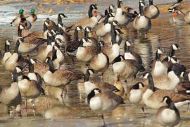 Acting for Migratory Birds