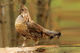 Indiana May List Grouse as Endangered