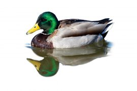 The Duck Outlook