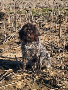 Elvis, Wirehaired Pointing Griffon