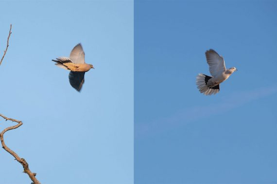 Hunters must be able to tell the difference between the mourning dove (left, with pointed tail) and the Eurasion collared dove (right, with blunt, fan-shaped tail).