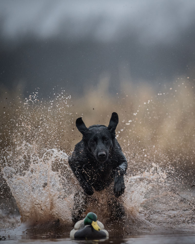 Labs run in all kinds of weather and terrain.