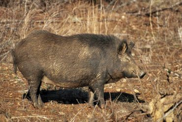 Invasion of the Hogs