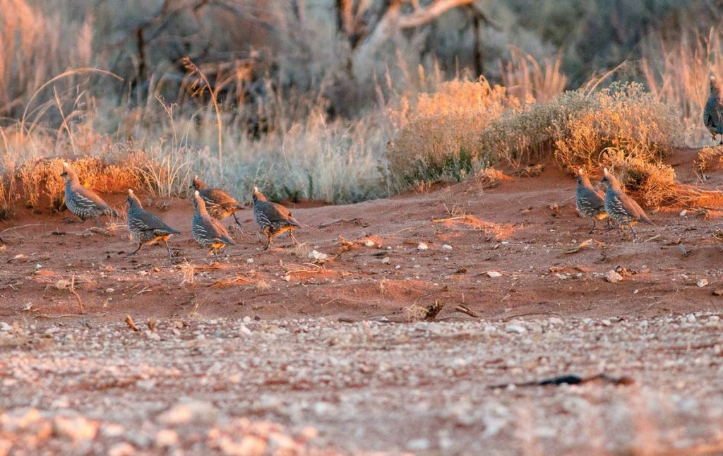 The Scale of Quail | Shooting Sportsman