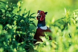 Heed the Call of the Uplands | Shooting Sportsman Magazine