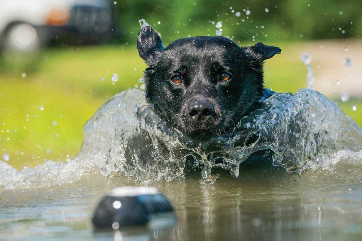 Working-dogs-in-the-water-helps-cool-them-down