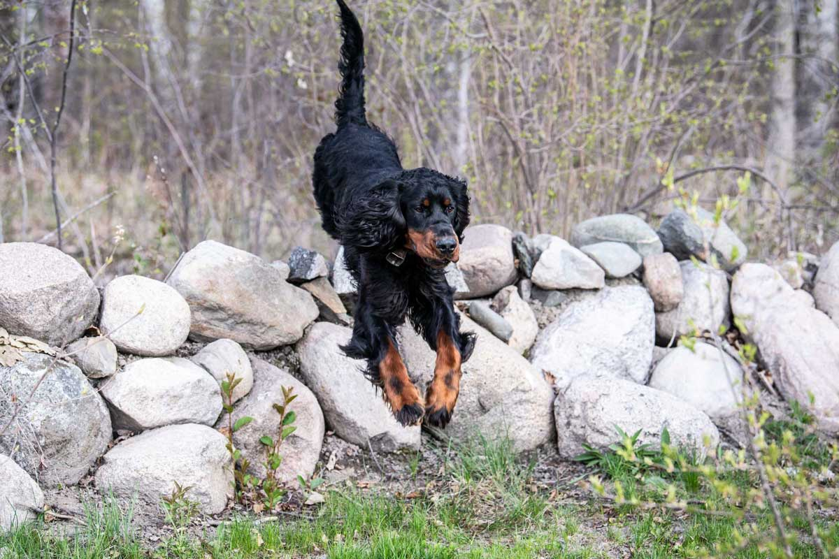Conditioning-in-actual-hunting-environments-helps-prepare-dogs-for-the-upcoming-season.-web