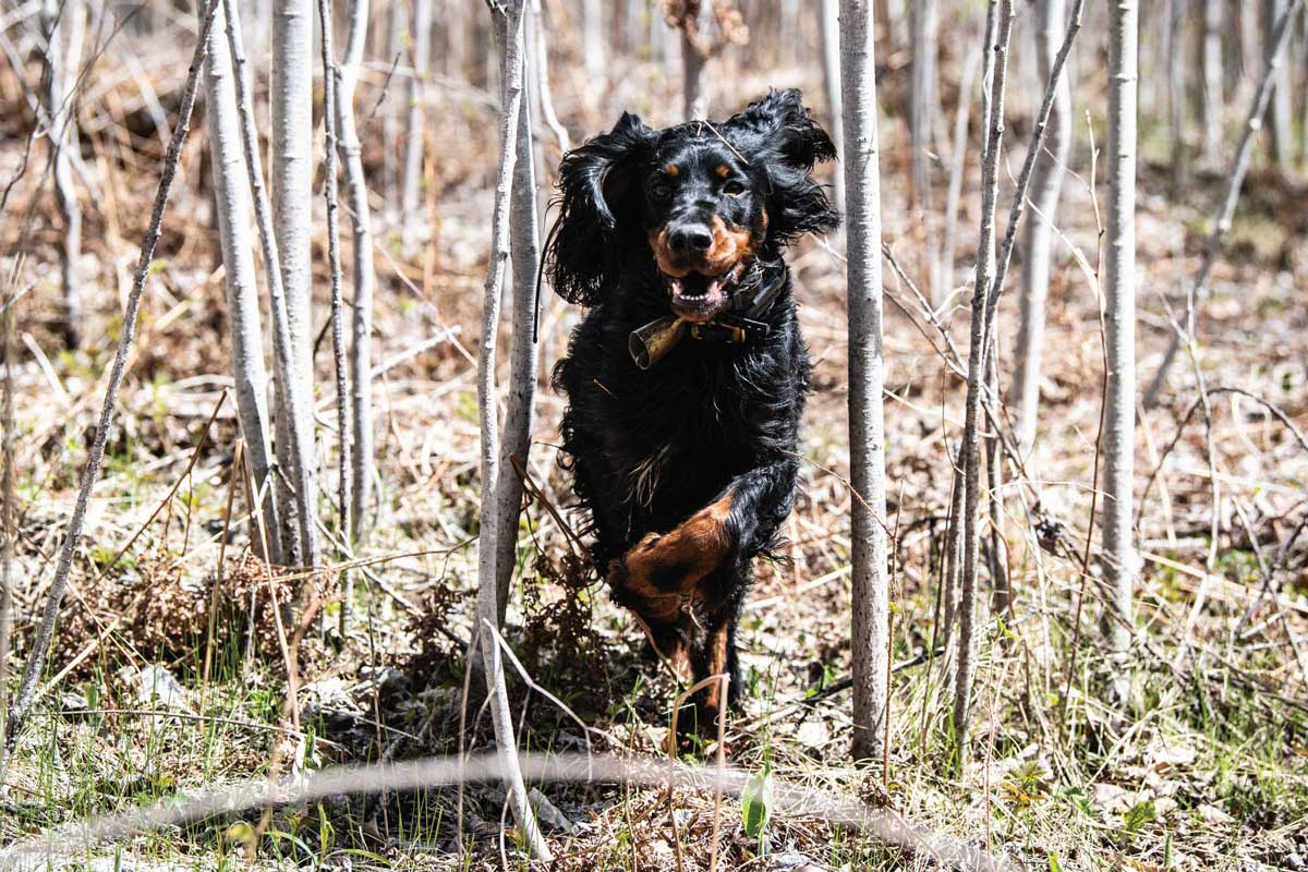 If traveling a long distance, give dogs time to run and burn off the stress of travel before your first day's hunt